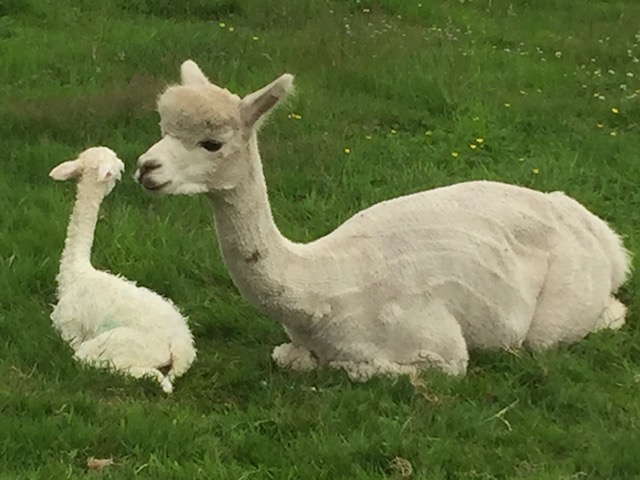 Alpaca baby & moeder
