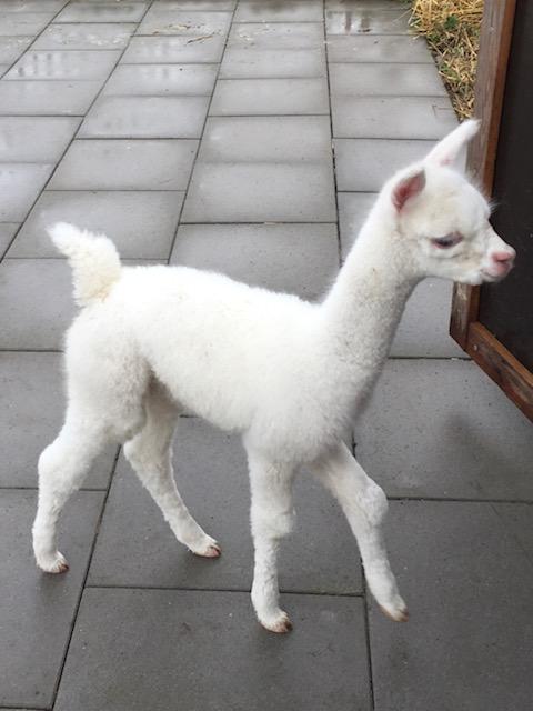 Alpaca baby / cria