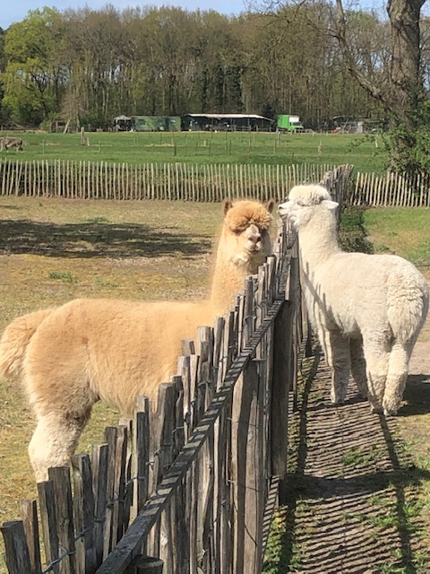 Alpaca Dekhengst