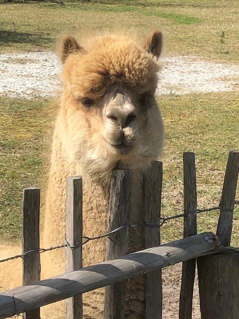 Alpaca dekhengst Fonske