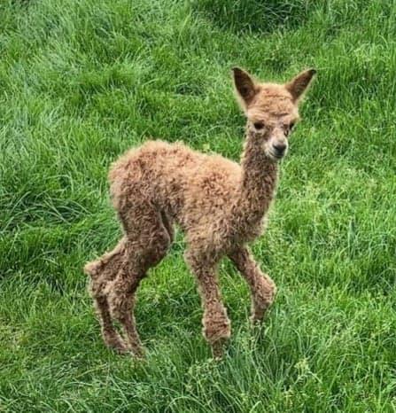 Sophie-May bruine alpaca merrie