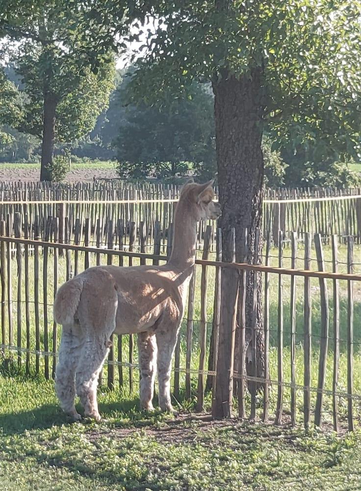 Alpaca Dekhengst fawn