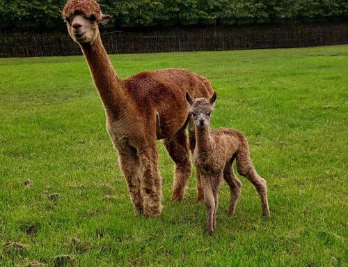 OL Diana is bevallen van een fawn kleurige merrie AB Sophie-Anne!