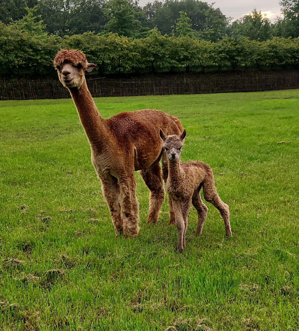fawnkleurige alpaca merries